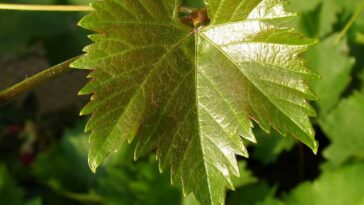 Листья винограда для долмы